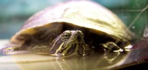 Schulzoo-Schildkröte